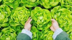 Home remedies for armpit odor - Lettuce
