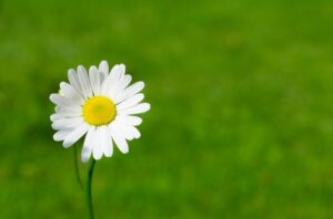 home remedies for eye stye - Chamomile